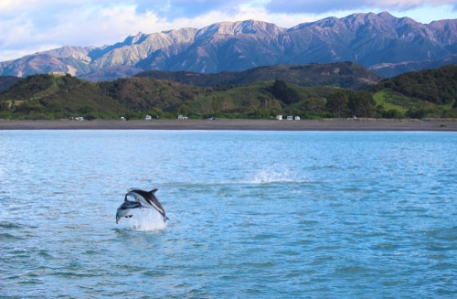 Dolphins Jumping in Kaikoura