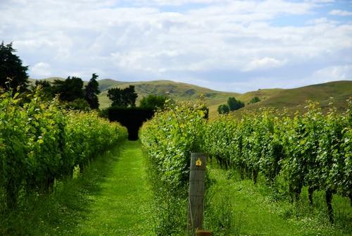 Vineyards in Napier New Zealand